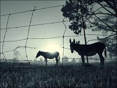 Until The Sun Brings Her Back (Ignatius du Bruyn) Tags: morning sun mist animals fog sunrise shadows dof pov farm donkeys panasonic dew barbwire silhoutte newday lumixfx1000 lumixfz1000