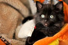 #35: Cozy and comfy (Random Life Project) Tags: cats animals feline kitty kittens kitties ehs adoption shelteranimals fostering edmontonhumanesociety fosteranimal