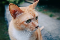 I haven't seen this friend in a long time... (Eric Flexyourhead (Trying to catch up!)) Tags: orange canada cute vancouver cat ginger kat chat bc bokeh britishcolumbia kawaii friendl