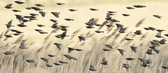 Starling-flock_4408 (Peter Warne-Epping Forest) Tags: uk essex marshland sturnusvulgaris commonstarling