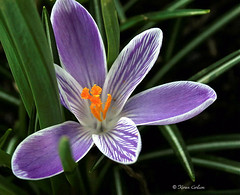 Crocus (acadia_breeze4130) Tags: orange white flower green leaves garden petals backyard purple pennsylvania stripes lavender crocus stamens backyardphotography karencarlson dailynaturetnc13