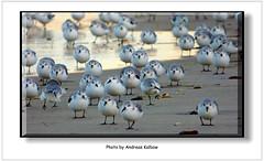 Sanderlinge Kugelbake 2014 (16) (Vogelfoto69) Tags: bird nature birds strand weihnachten alba calidris natur birding bbc nordsee birdwatching watt birdwatcher sanderling cuxhaven 2014 wattenmeer schnepfe niedersachsen brandung sahlenburg duhnen naturfreund naturschutz nabu kugelbake naturfoto hocharktis sanderlinge schnepfenvogel naturfilm naturdokumentation naturfilmer naturfotograph dhse