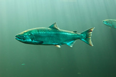Salmon (Emily Miller Kauai) Tags: fish oregon river salmon columbia gorge bonneville hatchery