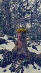 Tree Toupee (Mark.L.Sutherland) Tags: original colour tree nature forest scotland highlands woods funny cellphone samsung wig stump phonecamera sutherland effect toupee glenaffric phonography galaxys5