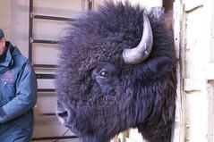 DSC_4356 (S Mair) Tags: bison roundup elkislandnationalpark woodbison bullbison bisonconservation bisonhydrolicsqueeze templegrandonfacility bisonhandling flyingshotbisonhandlingfacility