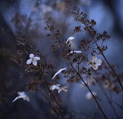 midnight-blue Hydrangea (marianna armata) Tags: winter snow plant canada flower nature bush bokeh hydrangea mariannaarmata