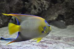 fauna abudhabi uae unitedarabemirates fishtank samhaabudhabi zoo zoologicalgardens emiratesparkzoo marineanimals aquaticanimals fish angelfish marineangelfish pomacanthidae queenangelfish