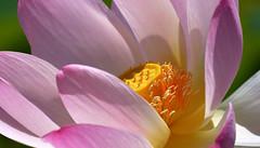 Pink Lotus... (KingGuardian) Tags: flowers plants nature garden lotus ngc naturelovers pinklotus nikond7100 nikon70300mmf4556afs