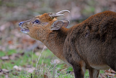Do you smell what I smell? (Wildlife Online) Tags: animal mammal wildlife bedfordshire deer muntjac muntjak barkingdeer reevesmuntjac muntjacdeer flehmen muntiacusreevesi cervid britishdeer ukdeer marcbaldwin wildlifeonline flehmendeer flehmenmuntjac