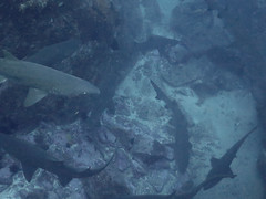 Grey Nurse Sharks (allenhaggerty00) Tags: southwestrocks greynurseshark