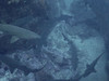 Grey Nurse Sharks (allenhaggerty00) Tags: southwestrocks greynurseshark