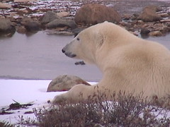 Polar Bear Churchill 11