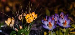 Springtime crocuses. (augustynbatko) Tags: flowers color macro primavera march petals spring colore view blumen crocus stamens fiori makro petali farbe marzo mrz bltenbltter kwiaty krokus frhling widok wiosna marzec kolor wista krokusy stami prciki staubfden patki