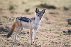 _JMH0682 (joannehedger) Tags: masaimara canismesomelas blackbackedjackal joannehedger httpjoannehedgerblogspotcouk