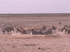 Gemsbok and Zebra Party
