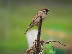 R7083613 (cybercynic) Tags: birds longvalley 塱原 麻雀 passermontanus treesparrow