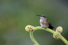 Little One (Megan Lorenz) Tags: travel wild bird nature costarica hummingbird wildlife 2015 jacobin whiteneckedjacobin mlorenz meganlorenz