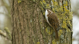 Treecreeper, feeding (2 more in the comments)