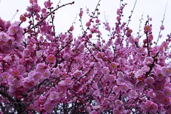 "Q-IMGP0001 (Keishi Etoh rough-and-ready photoglaph) Tags: flower q pentaxq 01standardprime pentax 標準 ""prime lens"" ""fixed focal length 単焦点"