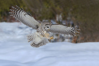 Chouette rayée / barred owl attacking