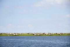 Wild horses at Oostvaardersplassen (Kitty Terwolbeck) Tags: wild sky horses wildlife lucht herd almere paarden oostvaardersplassen konik konikhorses kudde konikpaarden