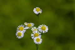 Erigeron philadelphicus (Jim Mayes) Tags: macro digital canon eos tamron 90mm tamronspaf90mmf28dimacro