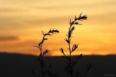 Why? (nathaliedunaigre) Tags: sunset plants sadness nice twilight silhouettes tribute wildflowers hommage attacks contrejour victims coucherdesoleil plantes tristesse fleurssauvages victimes july14 attentats