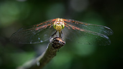 Dragonfly closeup (Sebo23) Tags: liebelle dragonfly macro makro facetten augen eyes insekt canon6d canon10028