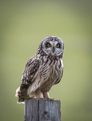 Short eared owl (dazzlers82) Tags: shortearedowl elmleynaturereserve birdofprey wildlife