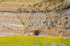 resting bison (breann.fischer) Tags: bison buffalo nps100 theodorerooseveltnationalpark northdakota explore wildbison wildbuffalo nature greatplains badlands nd2016contest wildlife