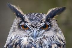 Eagle Owl Portrait (The Wasp Factory) Tags: portrait zoo owl tierpark uhu eurasianeagleowl bubobubo wildpark sababurg wildlifepark eagleowl tierparksababurg