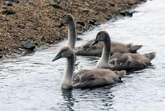Mute Swan & 3 Cygnets (6) (grahamh1651) Tags: newlyn newlynharbour tolcarne birds seabirds gulls swans waders shorebirds