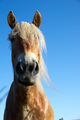 Bad hair day (Budoka Photography) Tags: horse closeup manualfocus manual primelens sonyalpha7 canonfd50mmlf12 outdoor nature canonllens