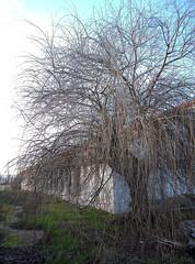 abandoned tree-arbol abandonado-IMG_1586-W (taocgs) Tags: espaa tree abandoned landscape arbol spain paisaje salamanca abandonado villamayor