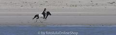 Hauspferd_Equus przewalskii caballus-405 (fotolulu2012) Tags: equidaepferde equusprzewalskiifcaballus hauspferd nordsee perissodactylaunpaarhufer schleswigholstein tierfotos wattenmeer fotografen fotolulu fotolulude tierbilder wildlifephotography wildlifepictures wildtiere