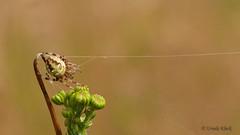 The webmaster / Vierfleckkreuzspinne (Araneus quadratus) (Oerliuschi) Tags: spinne spider schrfentiefe muster spinnweben fden knospe halm lumixgx8 augustdorferdnenfeld kreisgtersloh nrw vierfleckkreuzspinne araneusquadratus