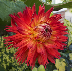 Blooming Red Dahlia (ORIONSM) Tags: red flower summer bloom macro garden nature olympus omdm10 dahlia infinitexposure