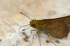 Dun Skipper (Euphyes vestris) (Megan E. McCarty) Tags: nature butterfly insect skipper lepidoptera hesperiidae skipperbutterfly puddling hesperiid