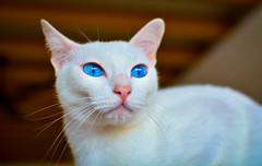 Blue (BHiveAsia) Tags: cats cat animal animals kitten kitty pet pets portrait feline felines wild life wildlife cute nature