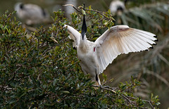 CCE_1950-Edit.jpg (carlopinarello) Tags: zoom d800e nl200500 mtcootthagardens bird nikon200500mmf56 ibis queensland qld