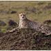 Cheetah - Jachtluipaard  (Acinonyx jubatus) in de Maasai Mara