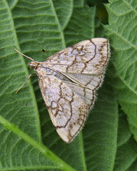 Chequered Pearl, Low Ploughlands, 27 July 16 (gillean55) Tags: canon powershot sx60 hs superzoom bridge camera north cumbria low ploughlands finglandrigg wood chequered pearl evergestis pallidata micromoth