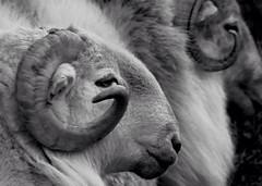 Ram (a.wardprints) Tags: ram sheep horn animal wales snowdonia farmland farming