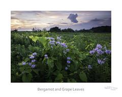 Bergamot and Grape Leaves (baldwinm16) Tags: il illinois summer july sunset prairie midwest wildflowers bergamot nature natureofthingsphotography