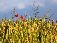 Summer (Gert Vanhaecht) Tags: canonpowershotsx700hs red france color gertvanhaecht yellow availablelight gold impressionism green composition clouds normandy colour canon flower landscape light nature