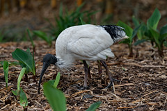 CCE_2025-Edit.jpg (carlopinarello) Tags: zoom d800e nl200500 mtcootthagardens waterbird nikon200500mmf56 ibis bird queensland qld