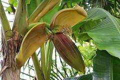 Musa basjoo - 19 June 2016 (vireyauk) Tags: musabasjoo musa basjoo banana musaceae