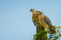 Enjoy The Day With A Friend (ac4photos.) Tags: hawk rsh redshoulderedhawk nature wildlife animal bird florida naturephotography wildlifephotography animalphotography birdphotography nikon d300s tamron ac4photos ac