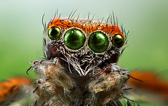 Face of a Saitis Barbipes Male (Little Boy 09) Tags: canon eos 60d tamron 17 50 f28 flash venus kx800 high magnification stack stacking jumping spider tamronspaf1750mmf28xrdiiildasphericalif