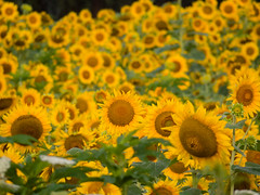 20160723-IMG_0035 (MandoCatDSM) Tags: sunflowers badger creek wildflowers sunrise
